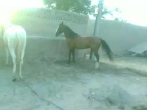 Xxx Mp4 HORSES OF MALIK AFZAL KHAN KALS 3gp KANGANPUR 3gp Sex