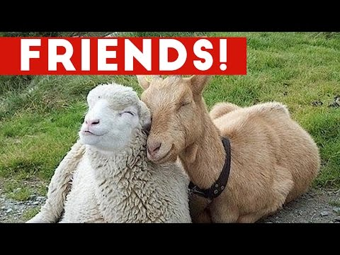 Funniest Unlikely Animal Friendships Compilation Funny Pet Videos