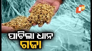 Keonjhar farmers in distress over damage to paddy due to Phethai