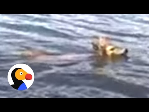 Drowning Baby Deer Saved by Awesome Guy The Dodo
