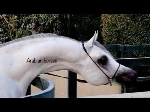 Xxx Mp4 ARABIAN HORSE STALLION BY WH JUSTICE حصان عربي اصيل اجمل 😍ابناء بطل العالم جستس 3gp Sex