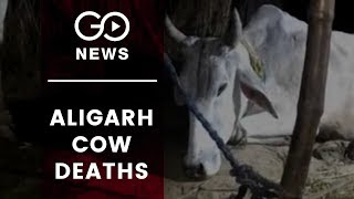 Cows Die After Eating Garbage