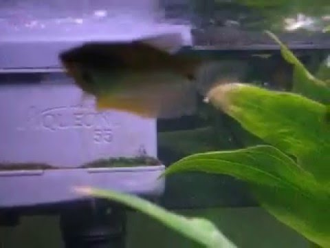 HELP~ Do I have two young female Pearl Gouramis OR a MALE & FEMALE? PT1