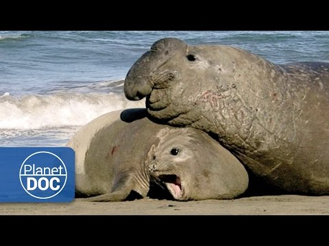 Relationship & Animal Mating | Aggressive Male - Documentary
