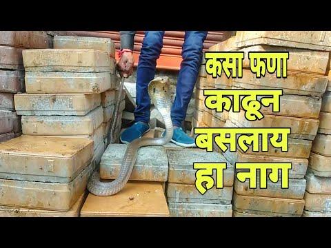 बघा कसा फणा काढून येतोय अंगावर हा नाग. Indian Spectacled cobra.