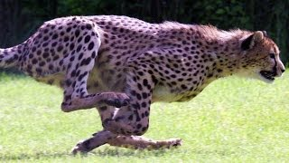 SPEED FREAKS! 10 of THE FASTEST ANIMALS in the world! (World's fastest land animal, bird and fish!)