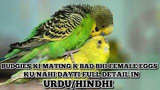 Budgies Female Mating Ke Baad Bhi Eggs Kyu Nahi Deti Wajha Or Iska Elaaj In Urdu/Hindhi
