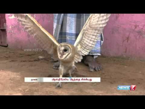 Rare Australian owl caught near Nagapattinam | Tamil Nadu | News7 Tamil |