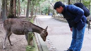 POLITE Bowing Deer of Nara Japan