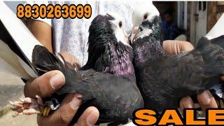 High flyer Dubaaz pigeon for sale.8830263699
