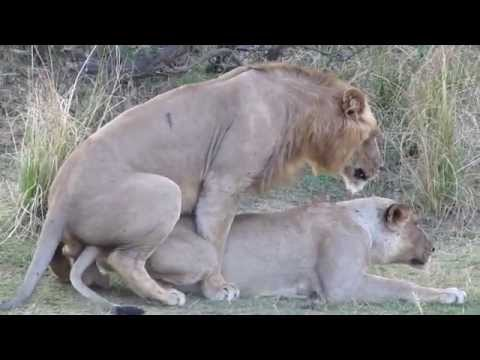 Lion sex: you won't believe the noises they make! Mating & orgasm (just like humans!)