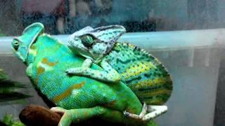 Chamaeleo calyptratus_ second mating