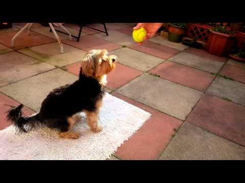 Duke Playing Churchill ( the nodding dog) 2 xxx