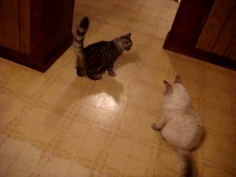 Siberian kittens and the laser mouse!