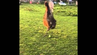 emu playing