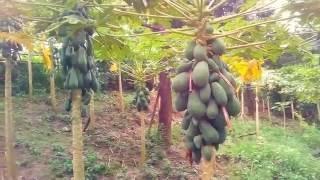 Papaya Farming in Bangladesh | Success Farmer in Papaya Cultivation
