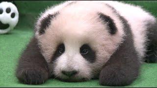 Giant Panda Cub Asleep in First Public Appearance in Malaysia