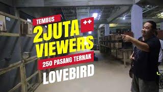 dunia hobi ternak 250 pasang lovebird milik kurnia bird farm