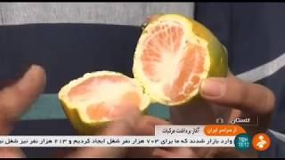 Iran Mandarin Orange harvest, Bandar-e Gas county برداشت نارنگي بندر گز ايران