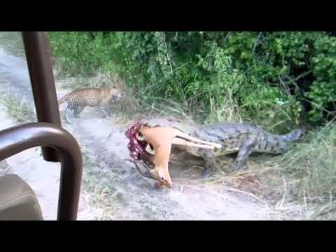 Croc vs Leopards on a game drive with The Bushcamp Company
