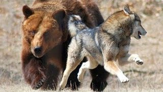 Discovery channel animals documentaries - Wolves vs Grizzly Bears - Nature documentary Animal planet