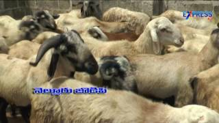 Best Breeds of Sheep and Goat and Success story of Young farmer Byra Subhash Nizamabad - Express TV