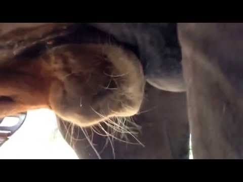 Xxx Mp4 6 Month Old Foal Drinking Mothers Milk Close Up 3gp Sex