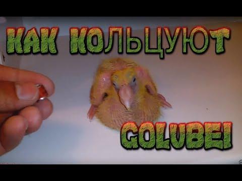 Кольцевание кур