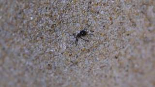 Antlion eating ant