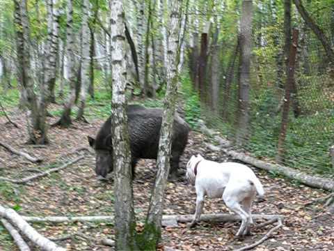 Boar test 3 Ава� гард