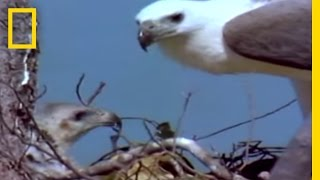 Eagle vs. Eagle in Mid-Air | National Geographic