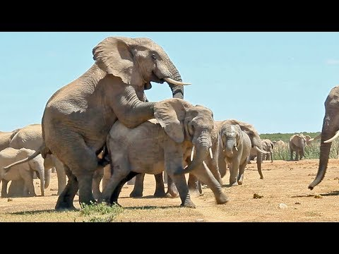 Mating Elephants - Latest Wildlife Sightings