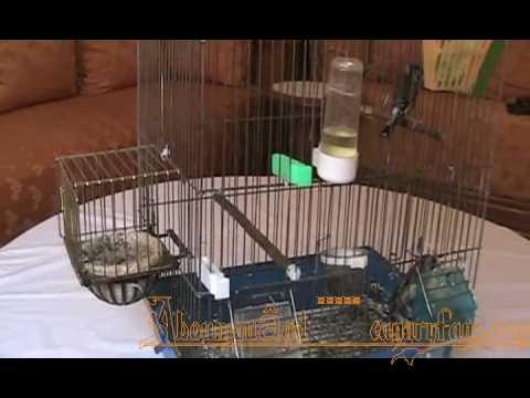 naissance de petits du chardonneret en cage.