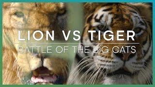 LION vs TIGER: Battle Of The Big Cats | BBC Earth Unplugged