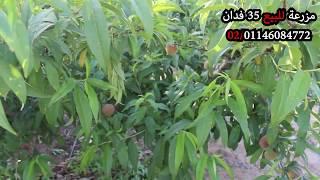 مزرعه للبيع في مصر - مزرعة للبيع 35 فدان