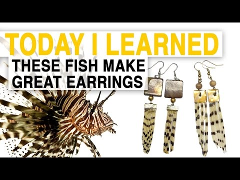 watch TIL: Lionfish Jewelry Can Help Save the Ocean | Today I Learned