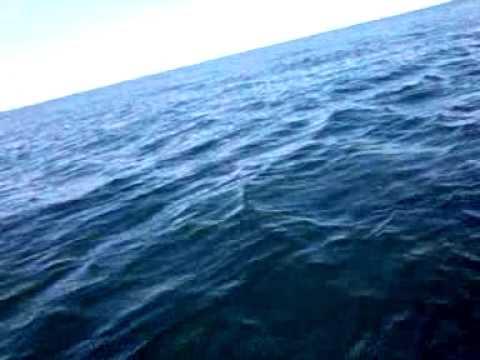 El tiburon mas grande del mundo
