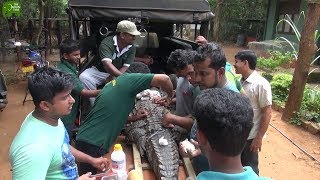 An Injured Crocodile met the most humble wildlife officers from Sri Lanka