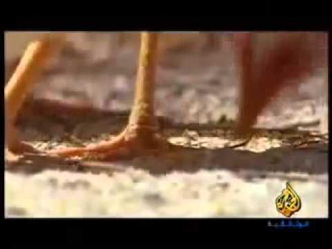 ديك بدون راس حى لمده 18 شهر فيلم وثائقى الجزيرة فيديو حقÙ