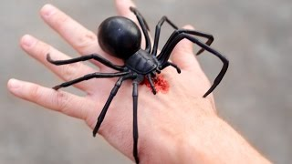 GIANT BLACK WIDOW BITE!
