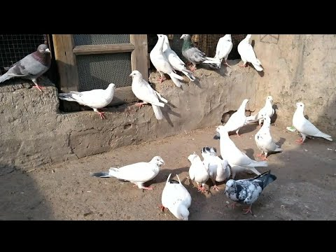 Xxx Mp4 1902 Sale Madrasi Kabutar By Wasim Bhai Shahdara Delhi 91 98993 46061 3gp Sex