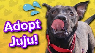 Adopt Juju // Pitty Mix // Adoptable Featurette