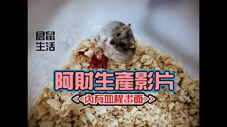 Hamster Life 倉鼠生活 20170829 阿財生產記錄(慎入!內有血腥畫面)//三線鼠//楓葉鼠