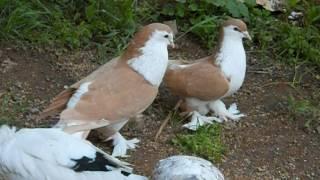 Süs Güvercinleri - Lahor Güvercini