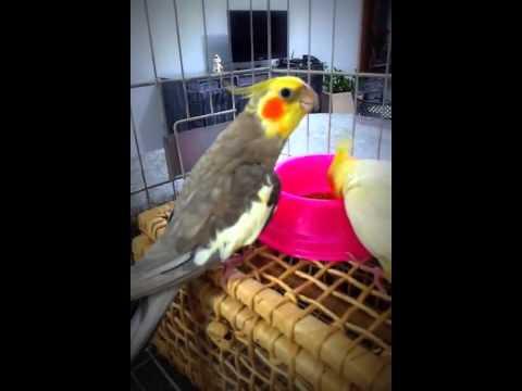 Calopsita macho cantando para femea