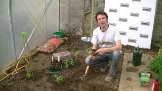 How to Transplant Cucumber Plants