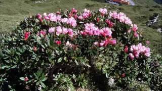 Stuck On You , Flowers on Taiwan Mt. HO-HUAN, 台灣合歡山東峰杜鵑