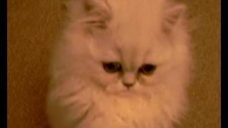 Kitty Impossible Movie - Cute Fluffy Chinchilla Kitten - Funny Film Video