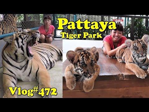 Xxx Mp4 Pattaya Tiger Park Petting The Big Cats 3gp Sex