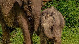 Three Legged Orphan Elephant Makes A New Friend   BBC Earth